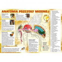 """Duża tablica informacyjna - """"Anatomia pszczoły miodnej"""" - XXL"""