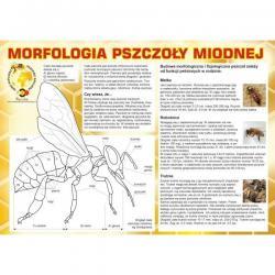"""Naklejka na tablicę reklamową - """"Morfologia pszczoły miodnej"""""""