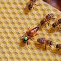 Hodowla matek pszczelich